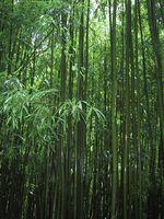 Bamboo in Maui